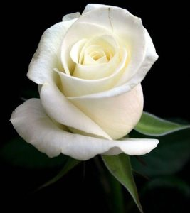rosa blanca amistad 5